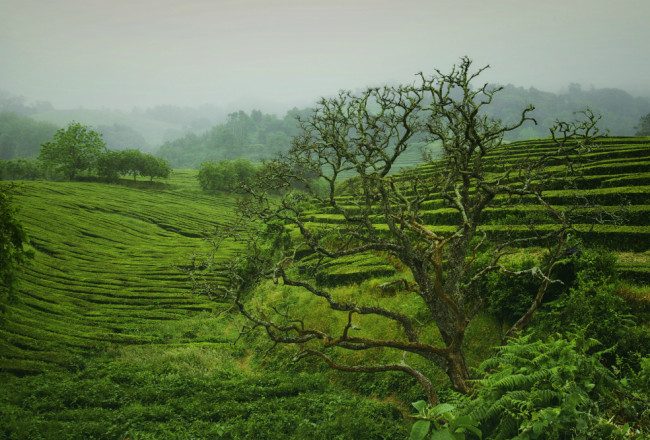 Gorreana Azory plantacja herbaty
