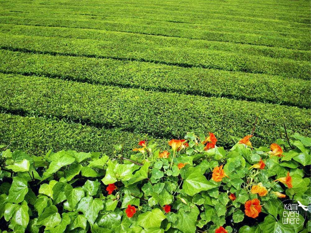 gorreana plantacja herbaty azory