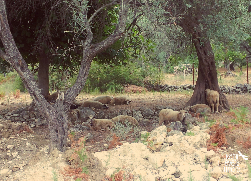 sheeps Himare Albania
