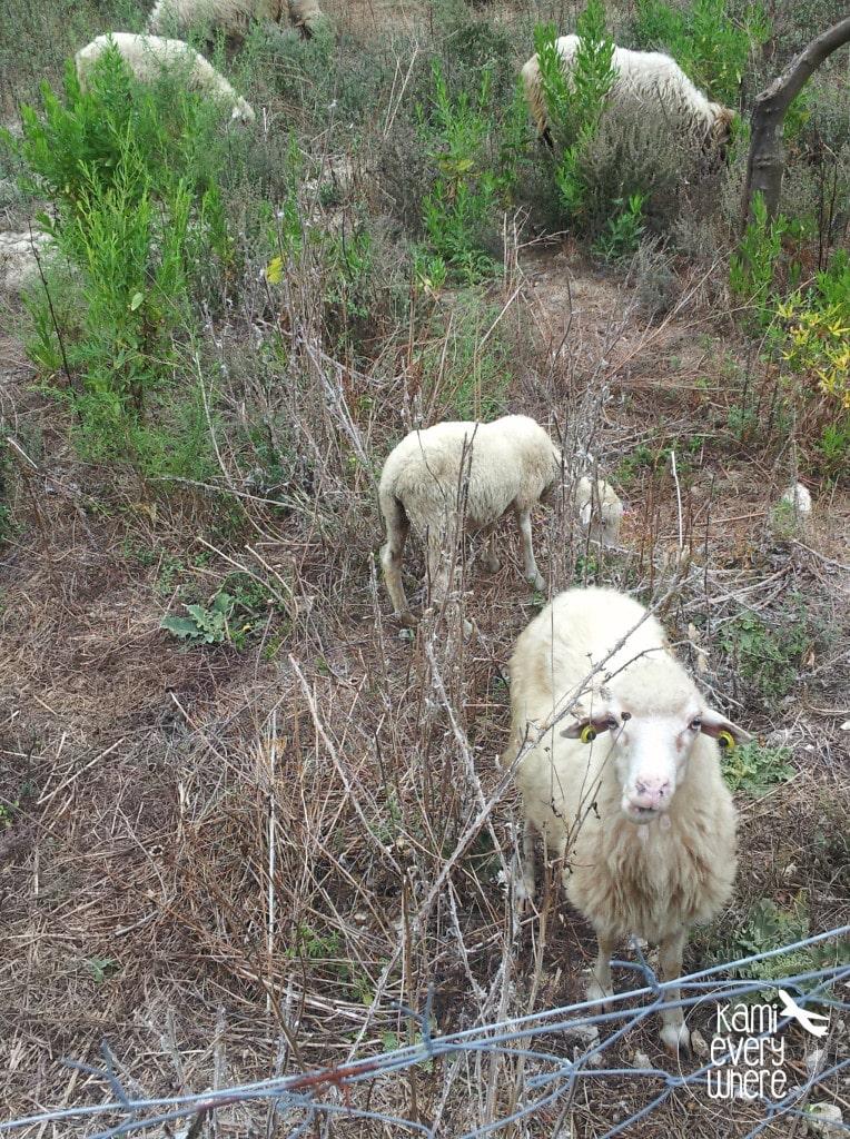 sheeps Albania Himare