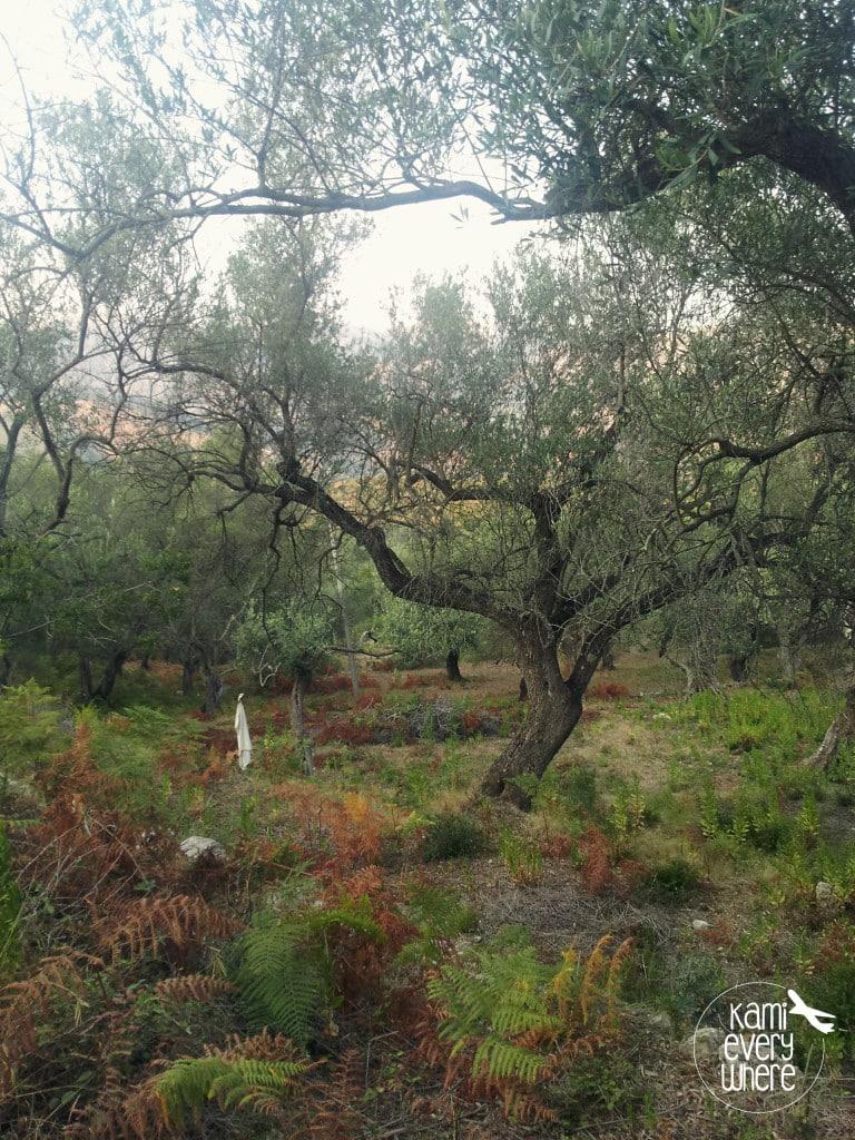 olive tree Himara Albania